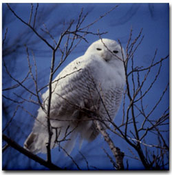 Snowy Owl Tile