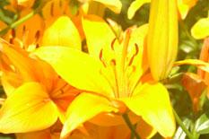 Yellow Lilies I