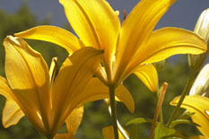 Yellow Lilies IV