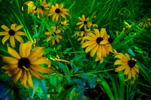 Black-Eyed-Susans-mid